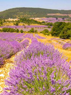 ***Lavender field (Provence, France) [photographer unknown]