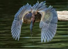 Green heron catching a fish. Captured by Peggy Coleman.