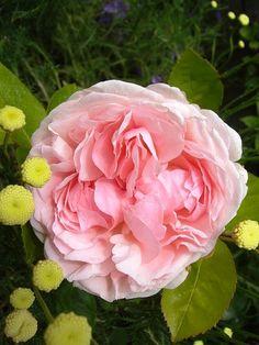 'St. Swithen.' | Shrub. English Rose Collection. Bred by David C. H. Austin (United Kingdom, 1993). | Flickr - © Rita
