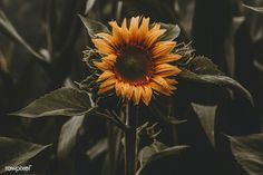 Sunflower - Sierra Burgess (Sierra Burgess Is A Loser) This song is amazing I love it! I has true meaing Beautiful Flowers Hd Wallpapers, Most Beautiful Flower Pictures, Flower Images Wallpapers, Best Flower Wallpaper, Flower Images Free, Sunflower Wallpaper, Flower Photos, Wallpaper Backgrounds, Free Images
