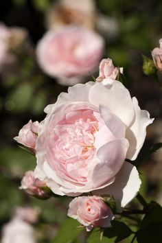 'Wisley 2008' | Shrub. English Rose Collection. Bred by David C. H. Austin (United Kingdom, before 2008) | Flickr - © NYBG, Photo by Ivo M. Vermeulen