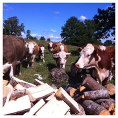Friendly #hereford #cows helping with firewood #Sweden #farmlife #gonaturetrip