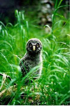 Lapinpöllö  owlet  Keminmaa Finland