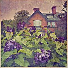#lilacs... #newtown  #retro Fine Art Print