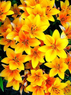 Springtime Daylilies - I have these in pink too! So stunning