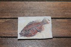 $7.00 USD _ Miniature find  fossil