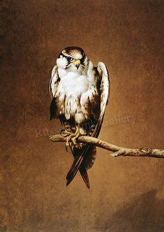 Beautiful Ray-Harris Ching falcon portrait!