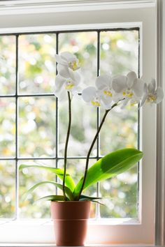 """""""Most Phalaenopsis areshipped here from Taiwan, flattened in a container ship, smushed in Sphagnum moss,"""" says Gerritsen. """"When they get here, toget them to bloom they are grown in special circumstances involving light and temperature."""" Your job: replicate those circumstances at home."""