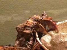 Peggy the Hermit crab