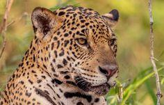 Evening Hours, Leopards, Jaguar, Brazil, Wildlife, Tattoo, Animals, Pantanal, Rainy Season