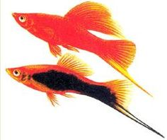 My first set of swordtails looked very similar. :)