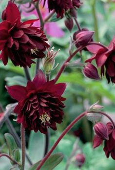 Aquilegia Ruby Port. Found this the other day, didn't purchase it, wasn't as impressive as I'd hoped for.