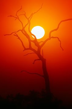 Dead Tree silhouette and glowing sun | Kruger's National Park