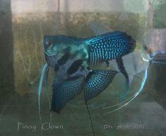 Pinoy Clown Angelfish