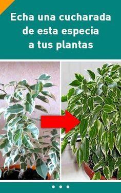 Echa una cucharada de esta especia a tus plantas. ¡Los resultados te encantarán! #abono #fertilizante #plantas #interiores #casero