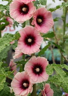 Alcea 'Halo Apricot'. Pink hollyhock with a deep purple center. Would be a great contrast plant in a pink and black garden.
