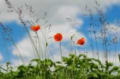 Filename: botany, flower, meadow, poppy, wild poppies wallpaper Resolution: File size: 500 kB Uploaded: - Date: Flower Images, Flower Photos, Orange Flowers, Tropical Flowers, Wild Poppies, Meadow Flowers, Wild Flowers, Remembrance Day, Botany