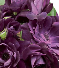 new rose called purple knockout rose