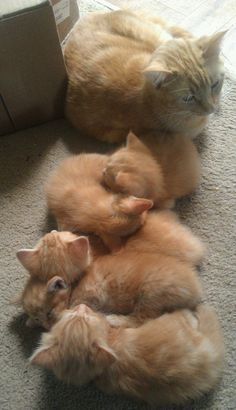 Mom cat with her Orange tabby kittens ... too cute!