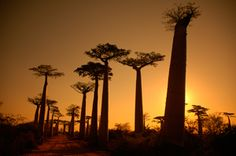 Madagaskar eine Fotoreise der ganz besonderen Art im Land der Lemuren. Mit Fahrer und örtlichem Reiseleiter geht es im Geländewagen von der Hauptstadt Antananarivo zuerst Richtung Osten ins Andasibe Naturschutzgebiet. Mit Booten gelangen wir auf dem Pangalanes Kanal durch den Dschungel an die Ostküste, wo wir einer einmaligen und intakten Natur auf dieser Fotoreise nach Madagaskar begegnen. 19-tägige exklusive Fotoreise ab/bis Frankfurt.