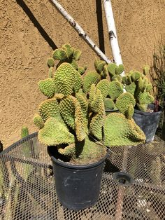 Opuntia monacantha  Joseph/'s Coat 9Tall  Cactus Rooted You will receive the plant from the pictures #6B
