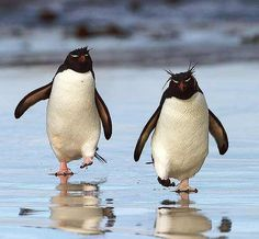 The Southern Rockhopper Penguin group, are two subspecies of rockhopper penguin, that together are sometimes considered distinct from the Northern Rockhopper Penguin.