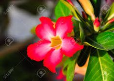Image result for pictures of desert rose plants