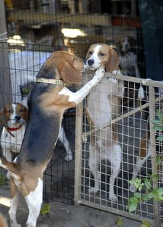 Beagles interacting with each other for the first time after being rescued from a lab.