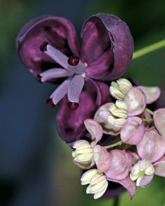 Akebia quinata (Chocolate Vine or Five-leaf Akebia) is a shrub native to Japan, China and Korea. It grows to 10m or more in height and has compound leaves with five leaflets. The flowers are clustered in racemes and are chocolate-scented, with three or four sepals.