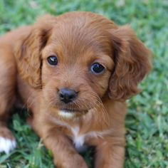 red cavoodle puppies | Make a Bad Day Better | Pinterest ...