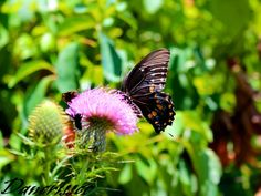 Black Swallow Tail Butterfly.
