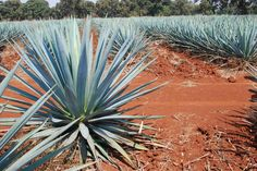 Agave Field 1