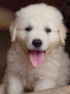 Top 10 Most Loyal Dog Breeds | The Pet's Planet kuvasz