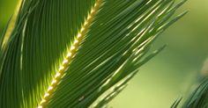 Como podar palmeiras-do-sagu. As palmeiras-do-sagu são plantas que não exigem muita manutenção e são apropriadas tanto para o paisagismo quanto para plantas de interior. Além disso, toleram uma ampla gama de condições de solo e temperatura, bem como se desenvolvem sob luz solar direta e indireta. As palmeiras-do-sagu só exigem a poda anual para remover folhas velhas e mortas e ...