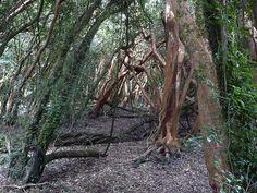 Bosque de Arrayanes Añosos, Isla Mocha, Region del Bio Bio, Chile