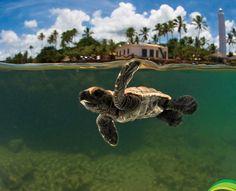 O Projeto Tamar trabalha na pesquisa, proteção e manejo das cinco espécies de tartarugas marinhas que ocorrem no Brasil, todas ameaçadas de extinção.