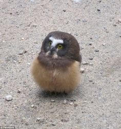 Wanna see a baby owl be really adorable for 28 seconds--Video. The pint-sized puff ball is a Northern saw-whet owl. These naturally diminutive birds are common in forests around the northern United States, though they're far more commonly. Cute Baby Owl, Baby Owls, Baby Animals, Cute Babies, Cute Animals, Pretty Animals, Funny Animals, Owl Bird, Pet Birds