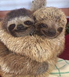 Sometimes you've just got to hug it out #sloths                                                                                                                                                                                 More