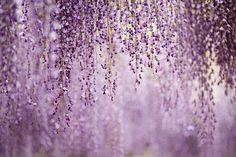 Wisteria in lavender.