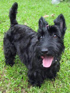 I love Scottish Terriers =) I really miss my McTavish and Kaysee!