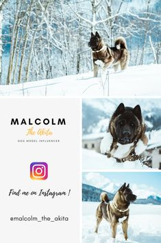Malcolm the Akita Mans Best Friend, Girls Best Friend, Best Friends, Big Dogs, Dogs And Puppies, Wolfdog Hybrid, Japanese Akita, French Dogs, American Akita