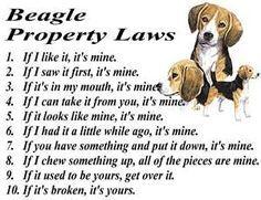 Leyes de Propiedad de los Beagles: 1.Si me gusta, es mío. 2.Si lo ví primero, es mío. 3.Si está en mi boca, es mío. 4.Si te lo puedo quitar, es mío. 5.Si parece mío, es mío. 6.Si lo tenía hace ratico, es mío. 7.Si tienes algo y lo sueltas, es mío. 8.Si mordí algo, todos los pedazos son míos. 9.Si era tuyo, olvídalo. 10.Si está roto, es tuyo.