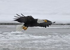 Steve Fisher  Tuesday    A Bald Eagle flies low over the Chilkat River in Alaska.