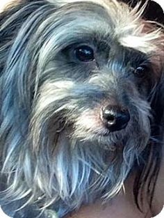 me is FEDERIKA!  I'm being cared for by: K9 Connection Pet Re Homing and Adoption  Help me get seen & adopted!       Facts about FEDERIKA Breed: Havanese/Maltese Mix Color: Gray/Silver/Salt & Pepper - With Black Age: Young Size: Small 25 lbs (11 kg) or less