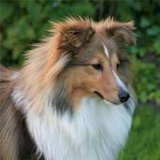 Shetland Sheepdog (this is what my new  puppy kinda looks like, just not as much fur... yet) :)