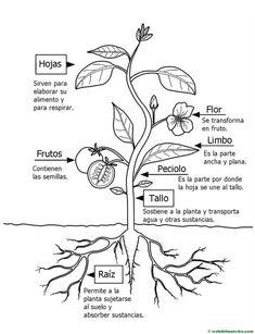 partes de la flor en ingles para imprimir imagenes y dibujos para Central Air Parts Diagram partes de una planta para colorear