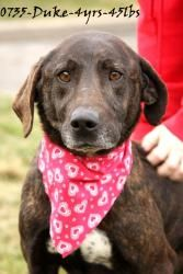 Duke is an adoptable Mountain Cur Dog in Beckley, WV. Duke was brought in with his brother Luke. There owner passed away and no one could care for them. Duke is a very sweet and friendly boy that need...