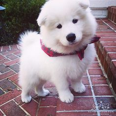 """From @mannythesammy: """"This is Manny - aka Manuel Antonio! He is a Samoyed and is now about 1.5 years old. He makes lots of funny faces and likes to talk to his humans quite often! He loves to swim and play with his Aunt Mia - also a Samoyed!"""" #cutepetclub"""