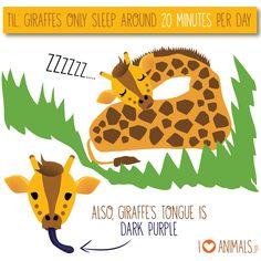How long do giraffes sleep per day? Giraffe Tongue, Purple Animals, Sleep, Day, Giraffes