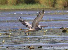 Muzi Pans - Pink-backed Pelican (Johan Gouws)